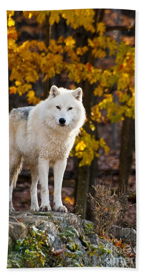 Arctic Wolf Beach Towel featuring the photograph Arctic Wolf Pictures 709 by World Wildlife Photography