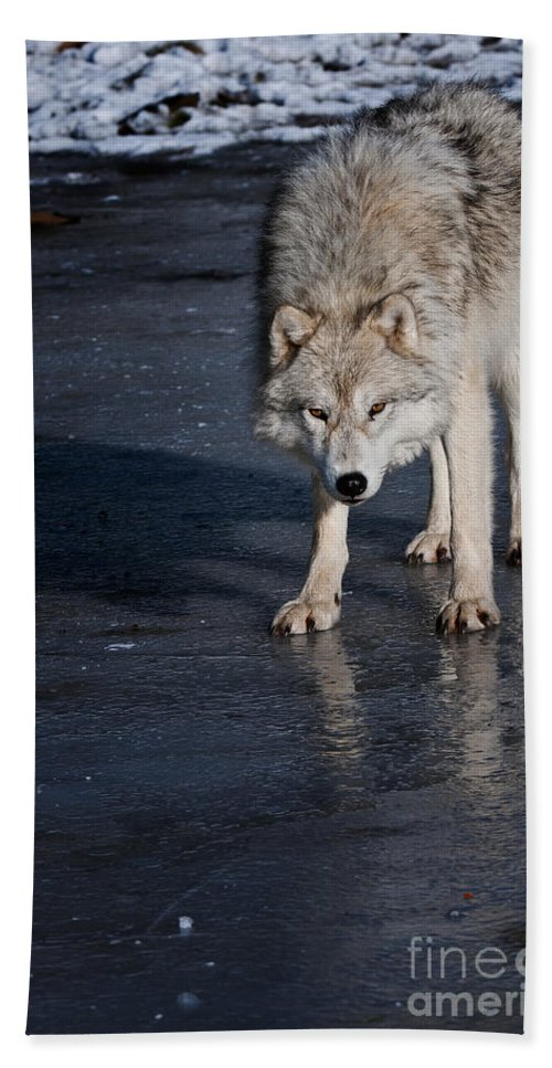 Arctic Wolf Beach Towel featuring the photograph Arctic Wolf Pictures 766 by World Wildlife Photography