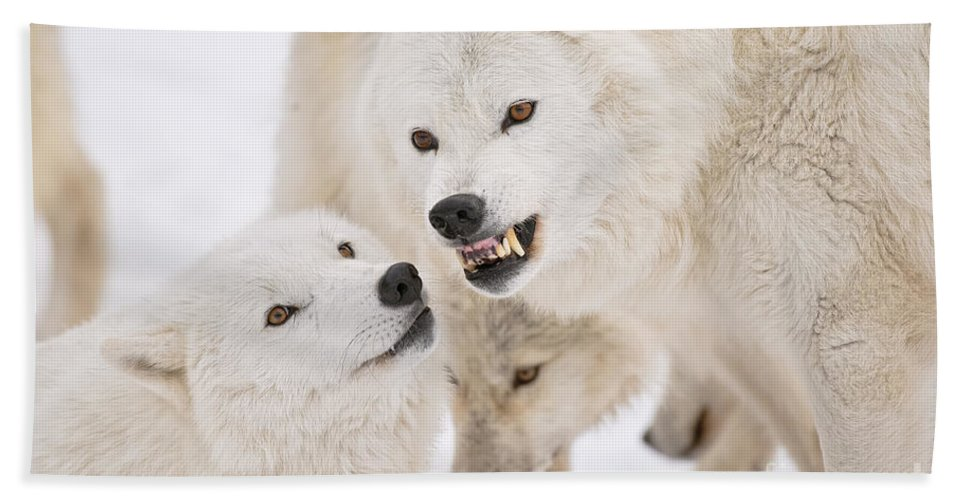 Arctic Wolf Beach Towel featuring the photograph Arctic Wolf Pictures 872 by World Wildlife Photography