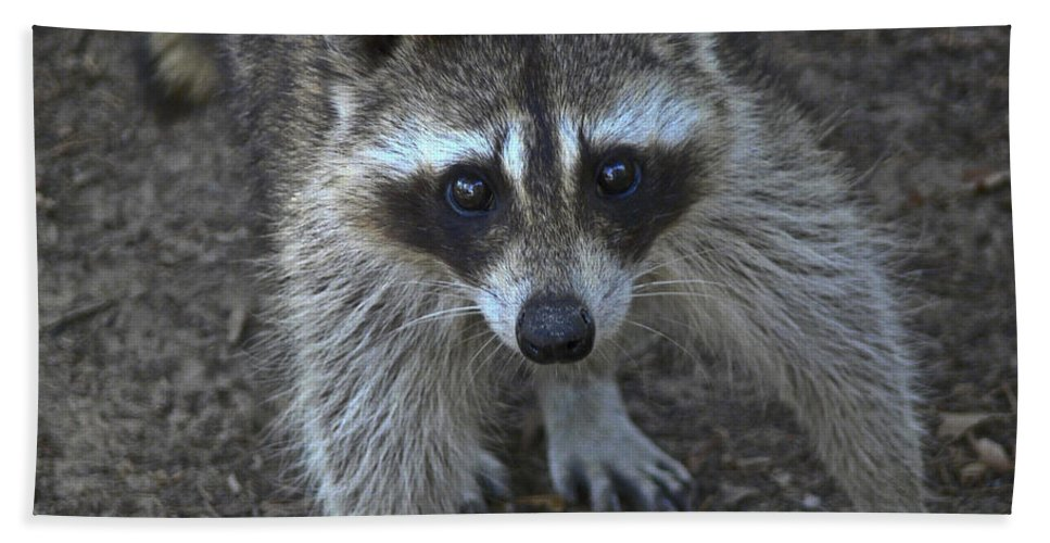 Raccoon Beach Towel featuring the photograph Are You My Mother? by Allen Sheffield