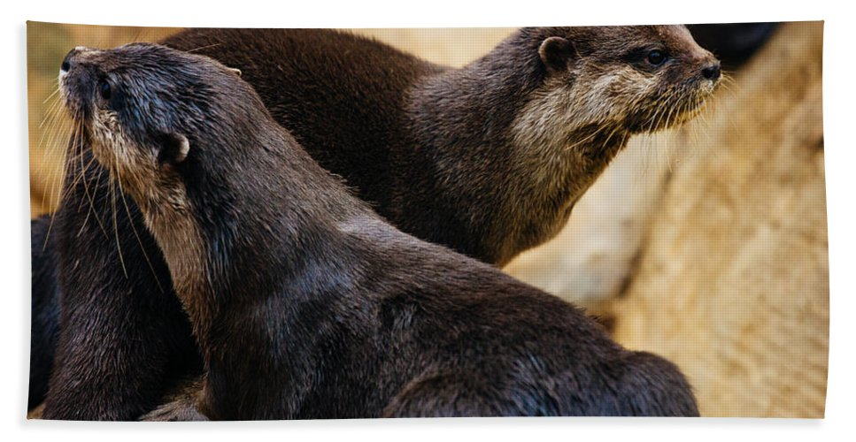 Photography Beach Towel featuring the photograph Asian Otters by Pati Photography