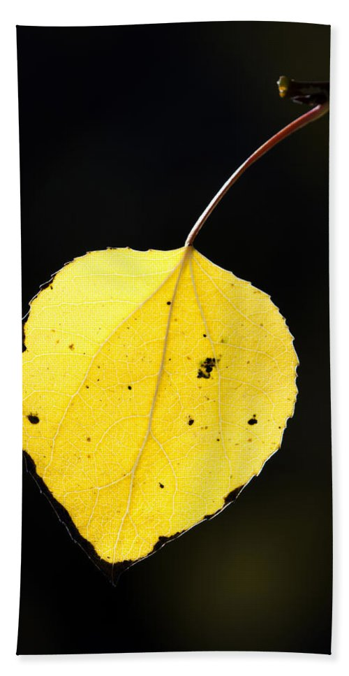 Aspen Beach Towel featuring the photograph Aspen Leaf In Fall by Gary Langley
