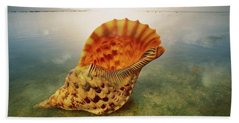 Ai Beach Towel featuring the photograph Atlantic Trumpet Triton Shell by Jean-Paul Ferrero