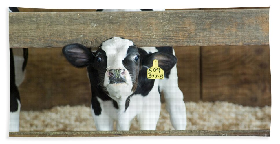 Cow Beach Towel featuring the photograph Baby Cow by Louise Magno