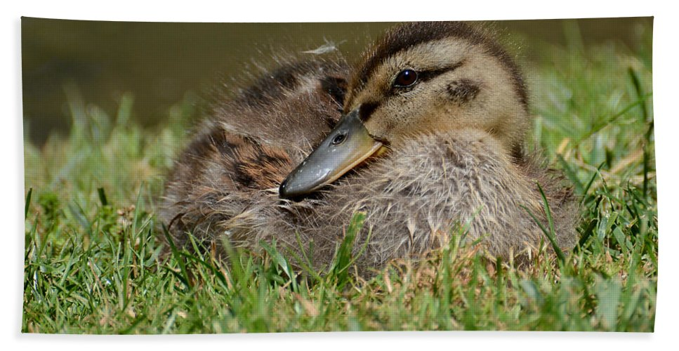 Mallard Duck Beach Towel featuring the photograph Baby Mallard by Todd Hostetter