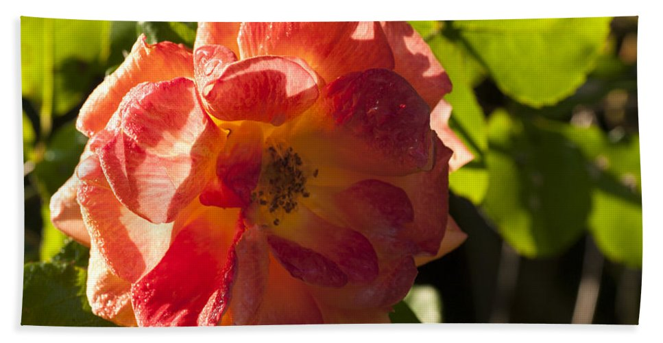 Rose Beach Towel featuring the photograph Backlit Rose by Richard Thomas