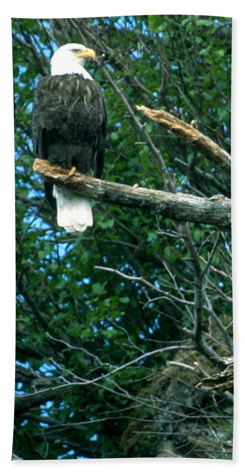 Eagle Beach Towel featuring the photograph Bald Eagle Poses by Larry Allan