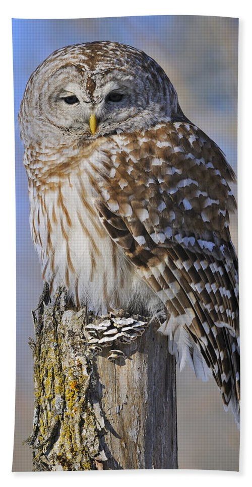 Barred Owl Beach Towel featuring the photograph Barred Owl by Tony Beck