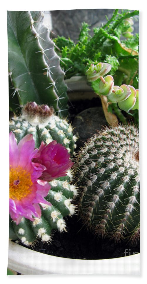 Blooming Beach Towel featuring the photograph Beautiful Blooming Cactuses by Ausra Huntington nee Paulauskaite