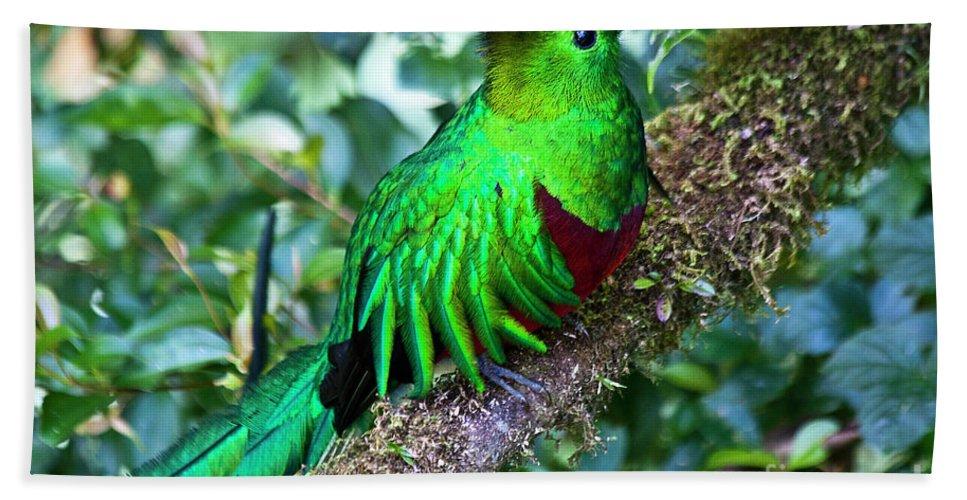 Bird Beach Towel featuring the photograph Beautiful Quetzal 2 by Heiko Koehrer-Wagner