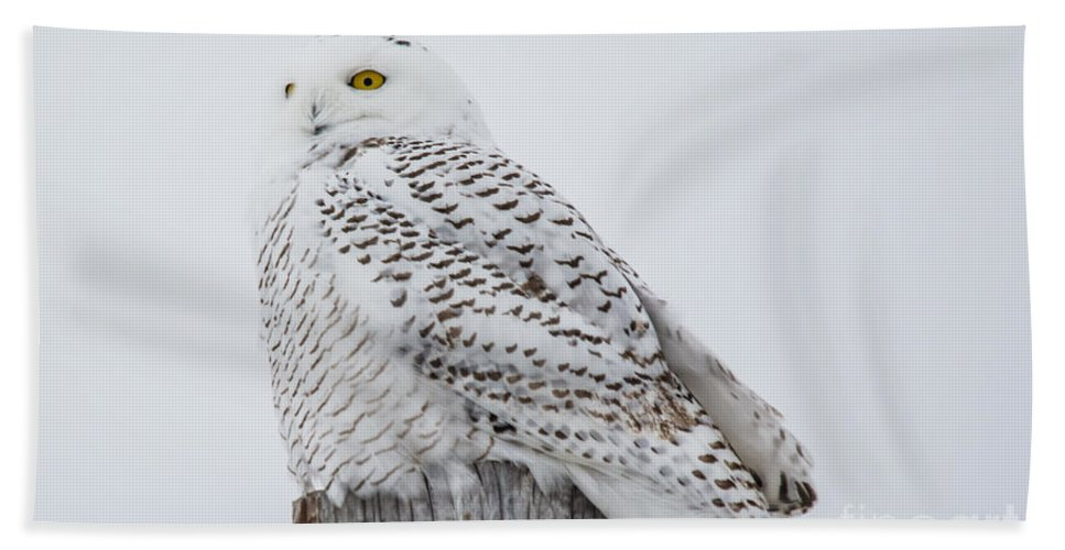 Field Beach Towel featuring the photograph Beautiful Snowy Owl by Cheryl Baxter