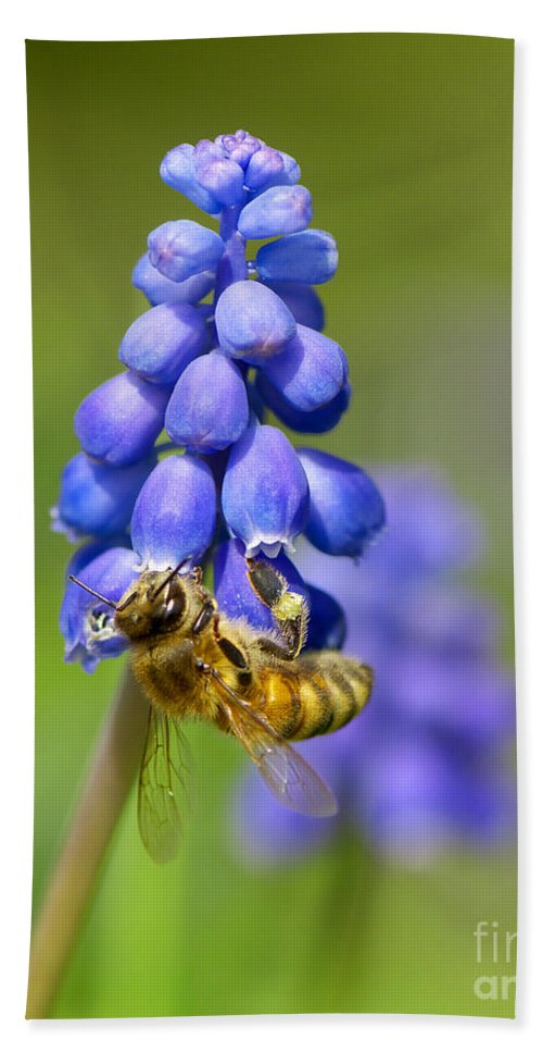 Bee Beach Towel featuring the photograph Bee On Grape Hyacinth by Sharon Talson