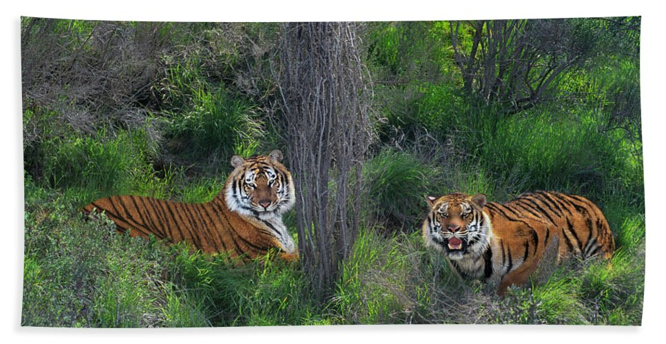 Bengal Tigers Beach Towel featuring the photograph Bengal Tigers On Grassy Hillside Endangered Species Wildlife Rescue by Dave Welling