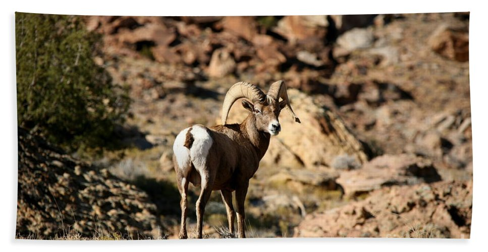 Wildlife Beach Towel featuring the photograph Bighorn Stare by Gary Emilio Cavalieri