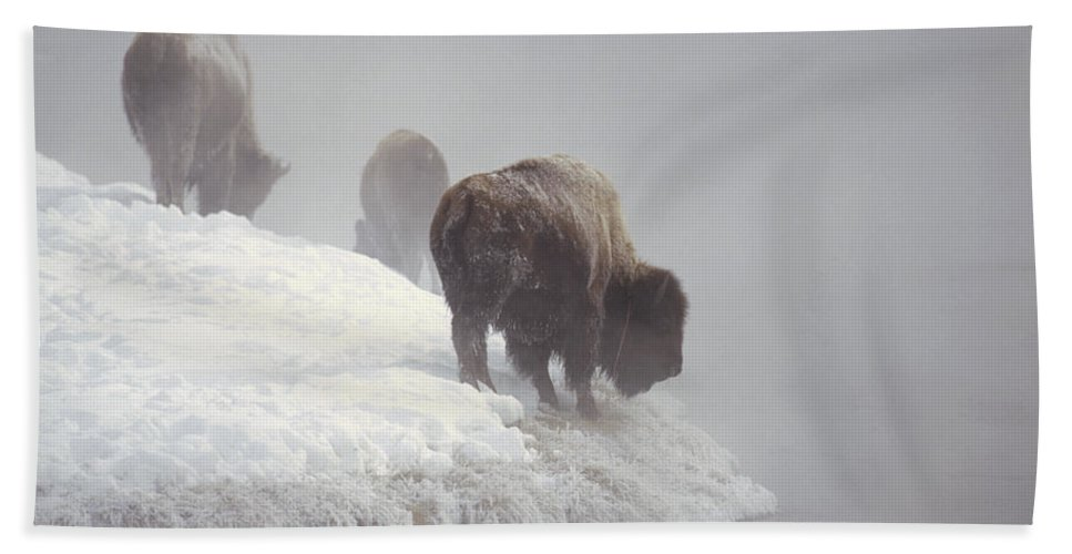Feb0514 Beach Towel featuring the photograph Bison Along Snowy Riverbank Yellowstone by Konrad Wothe