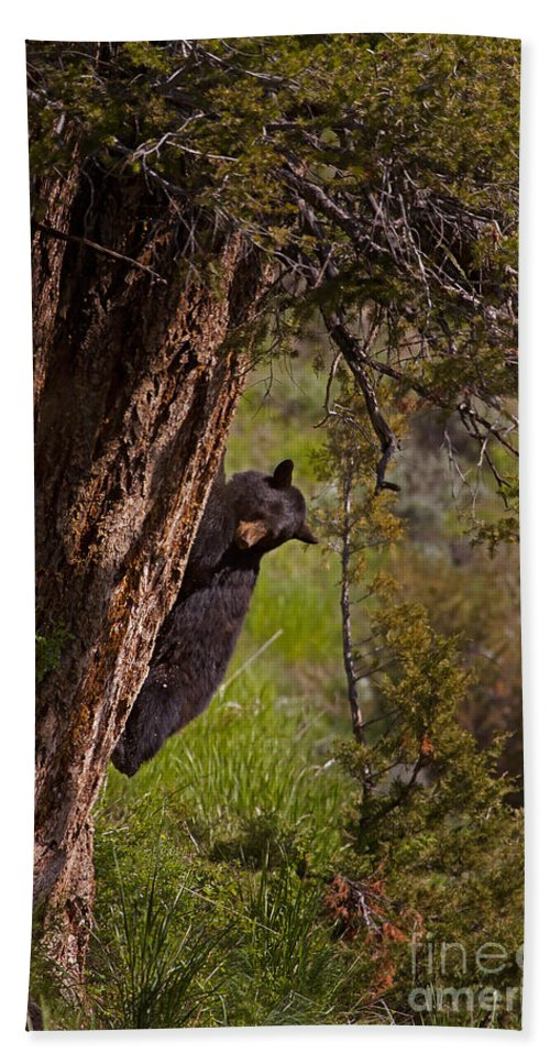 Bear Beach Towel featuring the photograph Black Bear In A Tree by J L Woody Wooden