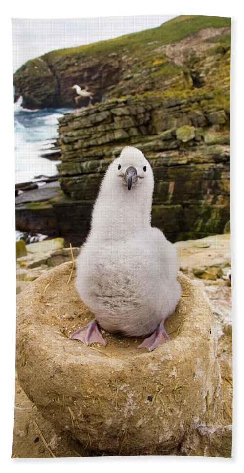 00345511 Beach Towel featuring the photograph Black-browed Albatross Chick Falklands by