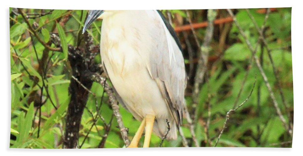 Everglades National Park Beach Towel featuring the photograph Black Crowned Night Heron by Adam Jewell