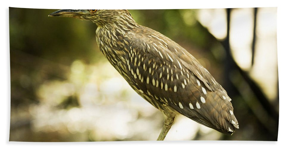 Black Beach Towel featuring the photograph Black Crowned Night Heron by Marilyn Hunt