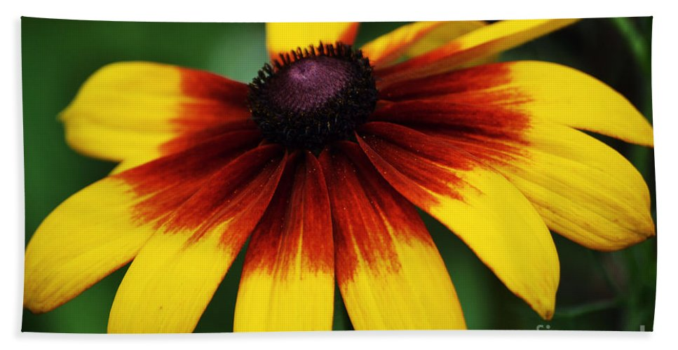 Black Eye Beach Towel featuring the photograph Black Eyed Susan 2 by Kevin Fortier