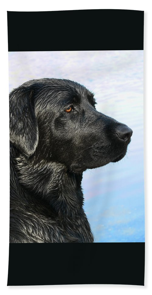 Labrador Retriever Beach Towel featuring the photograph Black Labrador Retriever After The Swim by Jennie Marie Schell