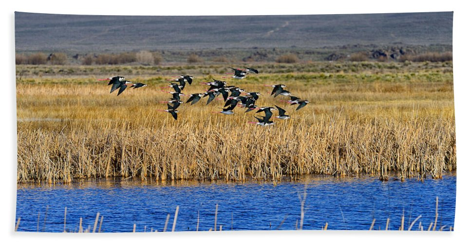 Black-necked Stilts Beach Towel featuring the photograph Black-necked Stilts In Flight by Greg Norrell