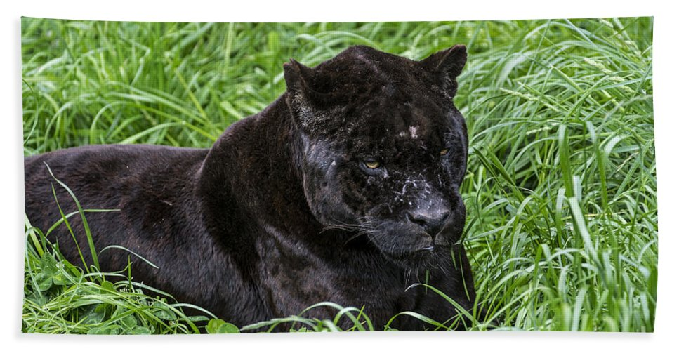 Melanistic Beach Towel featuring the photograph Black Panther by Arterra Picture Library