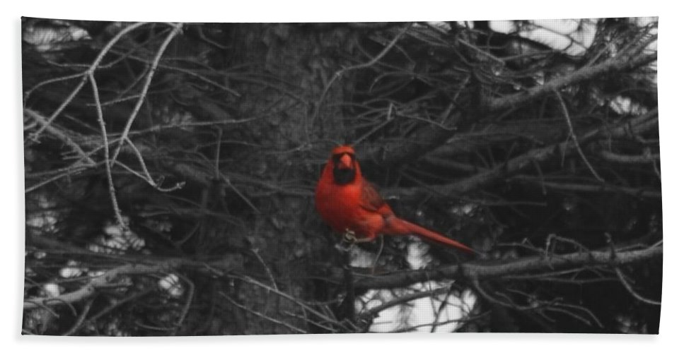Cardinal Beach Towel featuring the photograph Black White And Red by Dan McCafferty