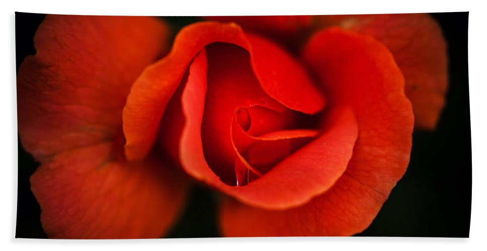 Bumble Bee Beach Towel featuring the photograph Blooming Red Rose by Sennie Pierson