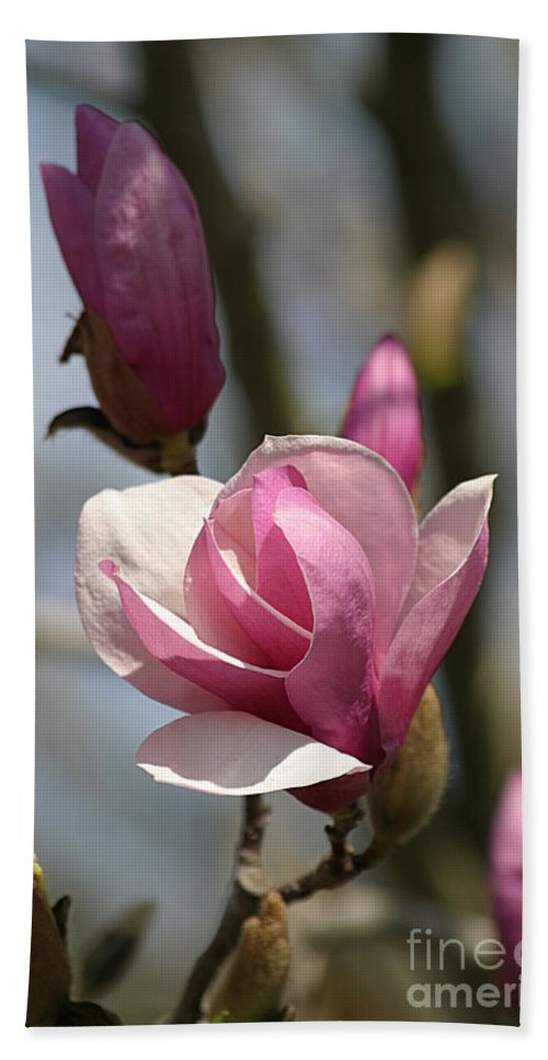 Magnolia Beach Towel featuring the photograph Blushing Magnolia by Living Color Photography Lorraine Lynch