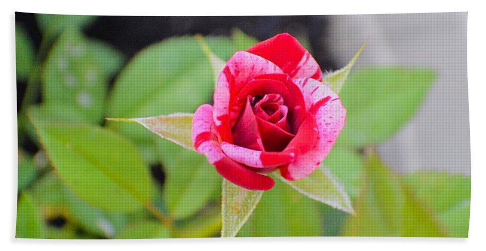 Rose Beach Towel featuring the photograph Blushing Rose by Sonali Gangane