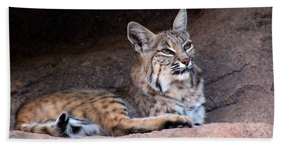 Bobcats Beach Towel featuring the photograph Hmm What To Do by Elaine Malott
