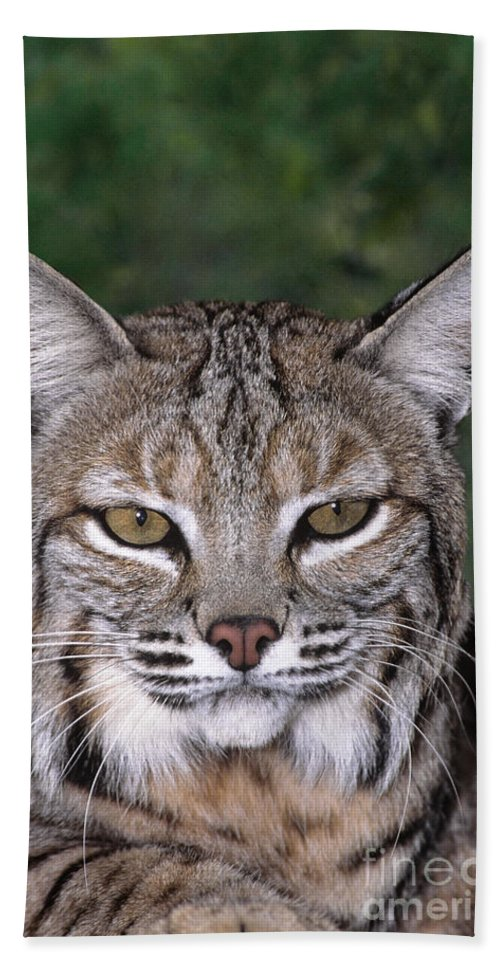 Bobcat Beach Towel featuring the photograph Bobcat Portrait Wildlife Rescue by Dave Welling