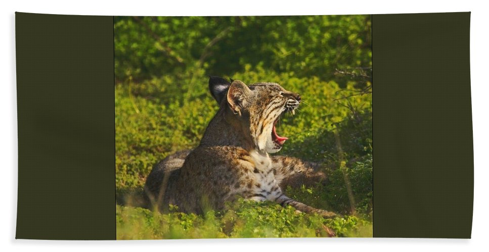 Bobcat Beach Towel featuring the photograph Bobcat Yawn by Beth Sargent