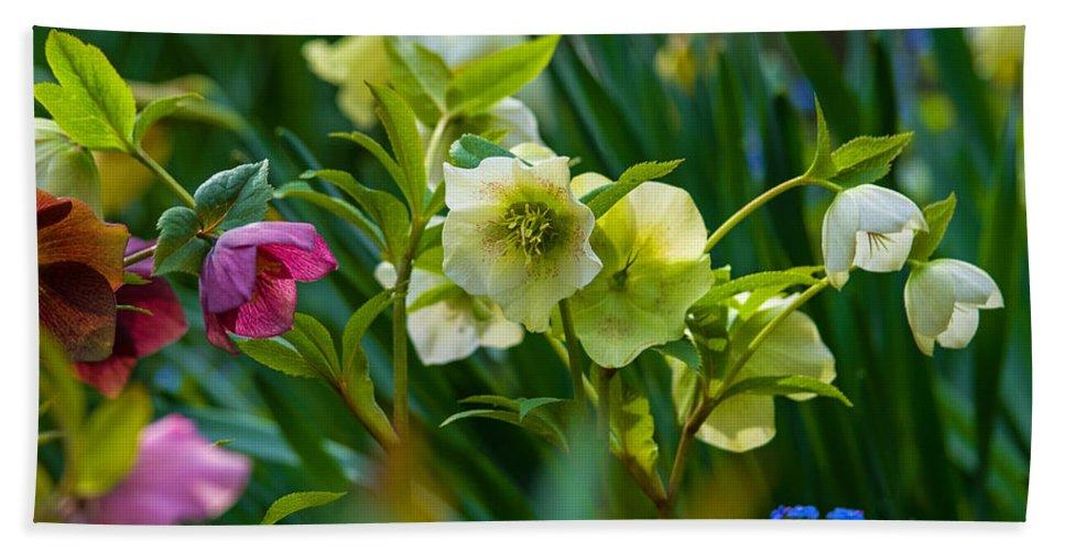 Nature Beach Towel featuring the photograph Bouquet Of Lenten Roses by Jordan Blackstone