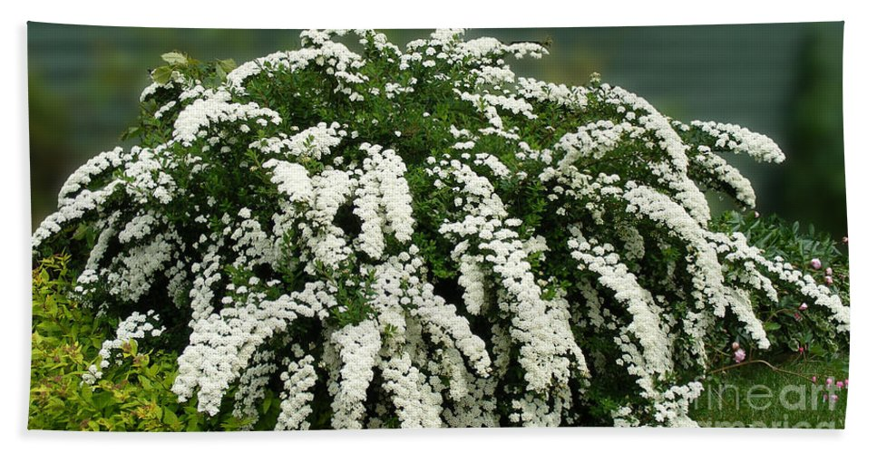 Bridal Wreath Flowers Beach Towel featuring the photograph Bridal Wreath Spirea - White Flowers - Florist by Barbara Griffin