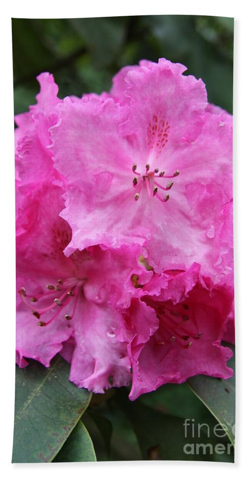 Rhododendron Beach Towel featuring the photograph Bright Pink Blossoms by Christiane Schulze Art And Photography
