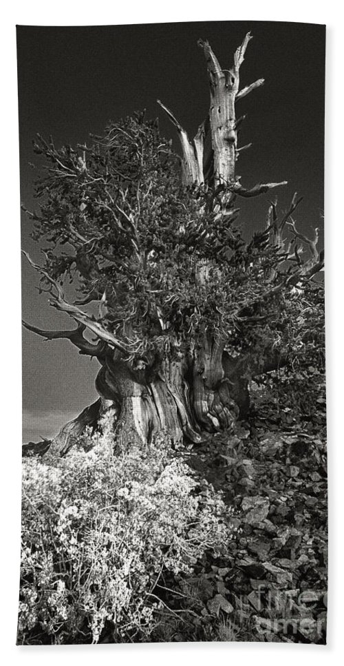 North America Beach Towel featuring the photograph Bristlecone And Wildflowers In Black And White by Dave Welling