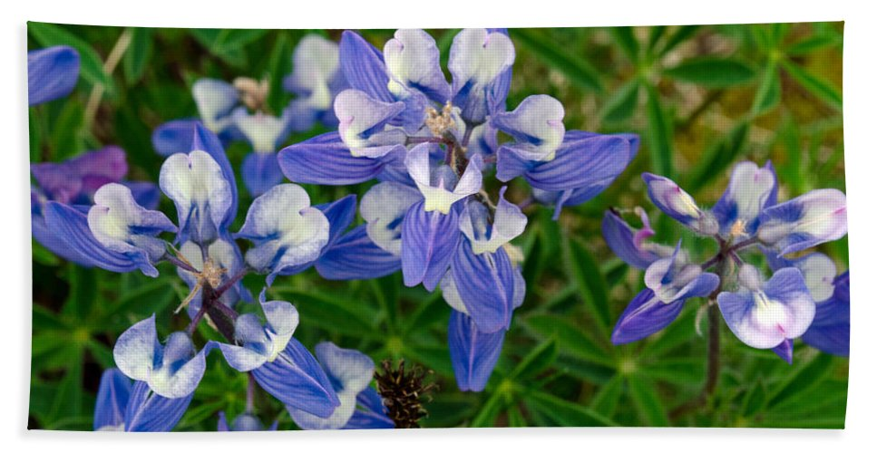 Purple Beach Towel featuring the photograph Broad Leaf Lupine by Tikvah's Hope