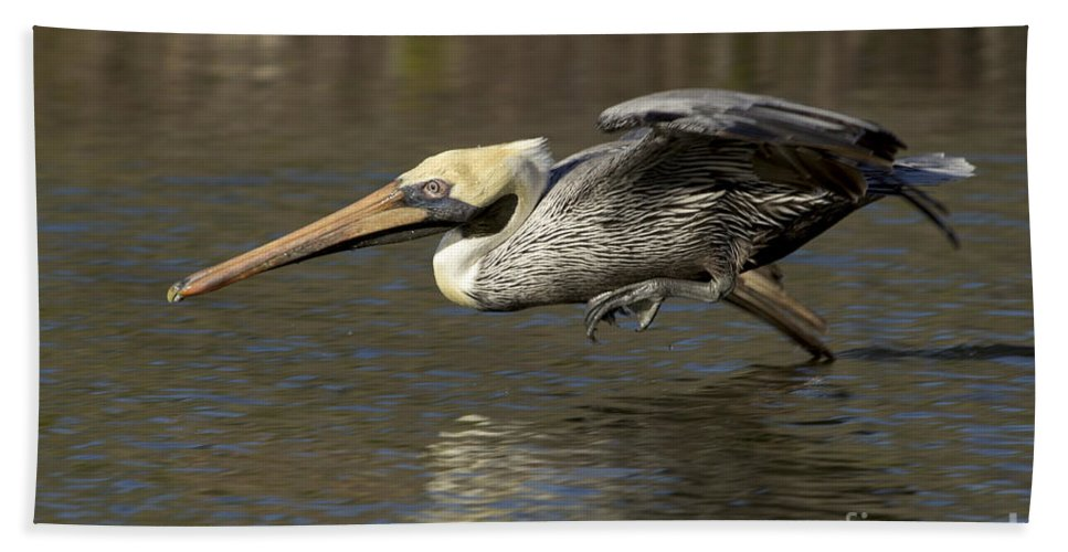Flight Beach Towel featuring the photograph Brown Pelican Fishing Photo by Meg Rousher