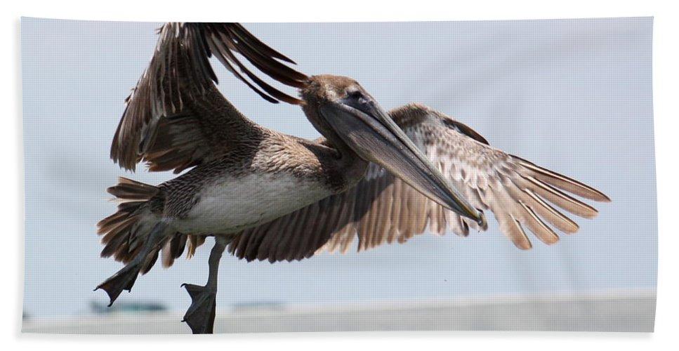 Pelican Beach Towel featuring the photograph Brown Pelican Landing by Carol Groenen