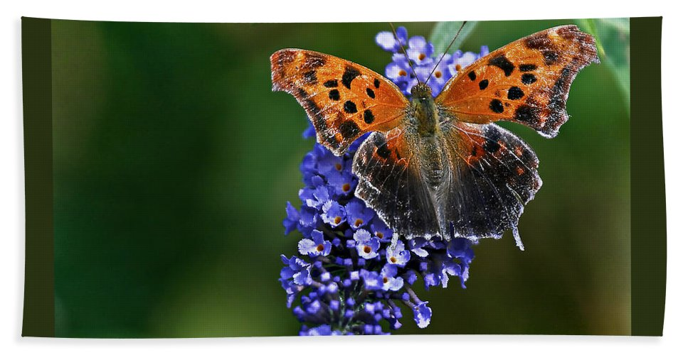 Insect Beach Towel featuring the photograph Brushfoot Satyr Comma by Marcia Colelli