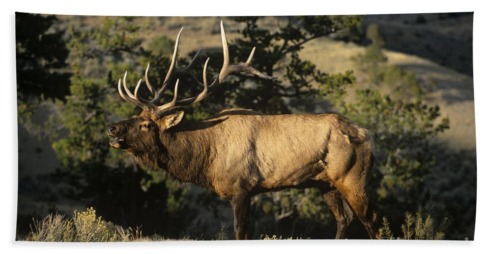 North America Beach Towel featuring the photograph Bull Elk In Rut Bugling Yellowstone National Park by Dave Welling
