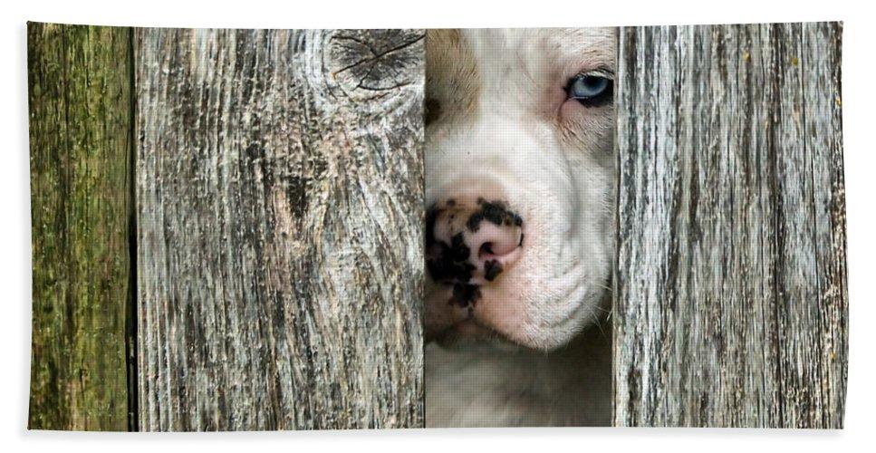 English Bulldog Beach Towel featuring the photograph Bull's Eye - English Bulldog by Nikolyn McDonald