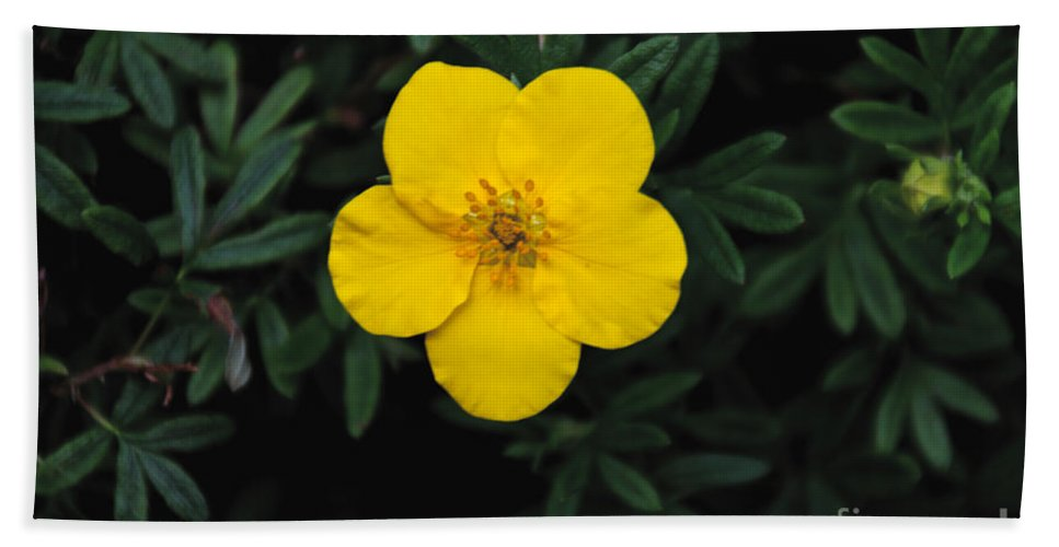 Yellow Beach Towel featuring the photograph Buttercup by William Norton