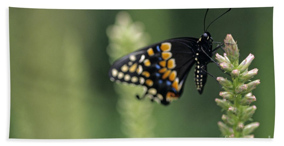 Travel Beach Towel featuring the photograph Butterfly E. Black Swallowtail by Jim Corwin