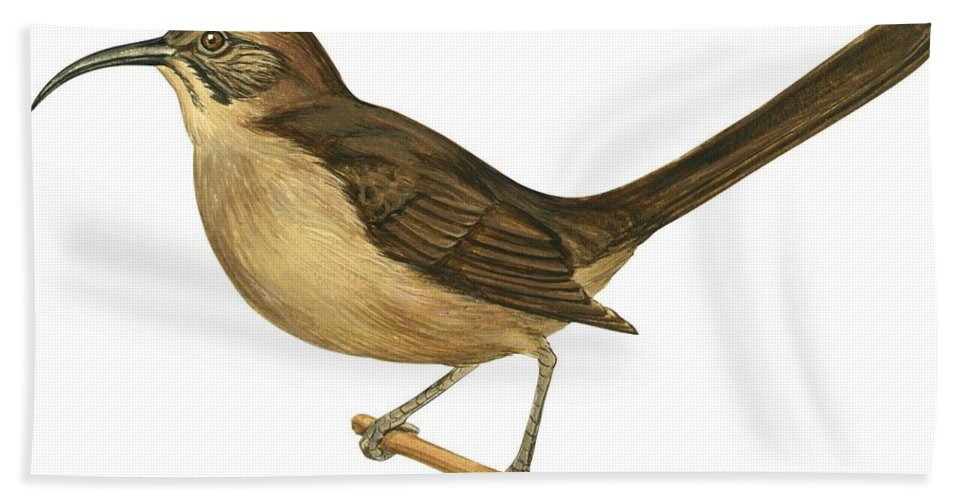 No People; Horizontal; Side View; Full Length; White Background; One Animal; Wildlife; Close Up; Illustration And Painting; Zoology; Bird; Branch; Wing; Feather; Perching; Beak; Brown; California Thrasher; Toxostoma Redivivum Beach Towel featuring the drawing California Thrasher by Anonymous