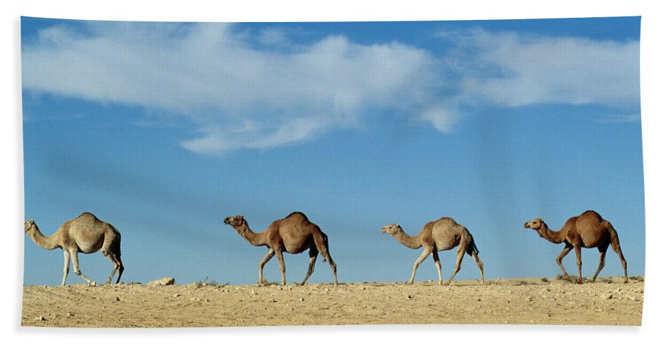 Camels; Animal; Desert; Arid Beach Towel featuring the photograph Camel Train by Anonymous