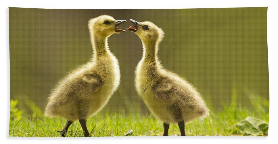 Babies Beach Towel featuring the photograph Canada Goose Babies by Mircea Costina Photography