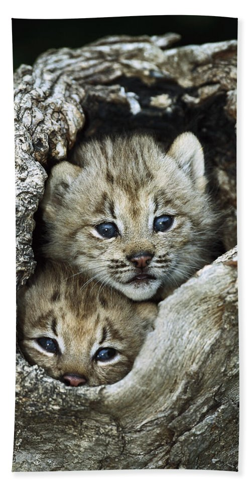00197662 Beach Towel featuring the photograph Canada Lynx Kitten Pair by Konrad Wothe